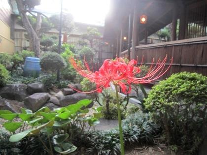 大正楼中庭に咲くヒガンバナ
