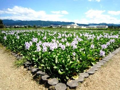 本薬師寺跡の花の競演 ホテイアオイ