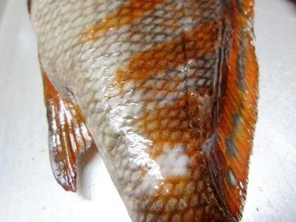 タカノハダイの縞模様