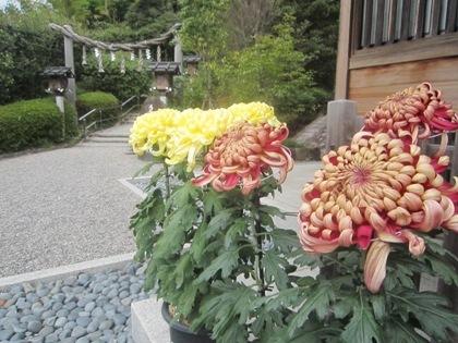 大神神社の菊