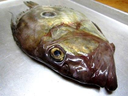 マトウダイ 的鯛