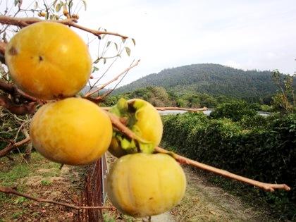 三輪山と柿の風景