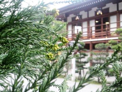 大神神社参集殿 杉の芽