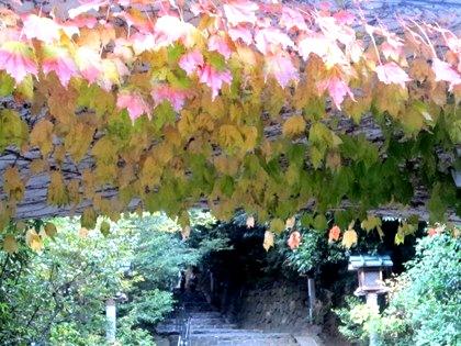 蔦の紅葉 大神神社の紅葉