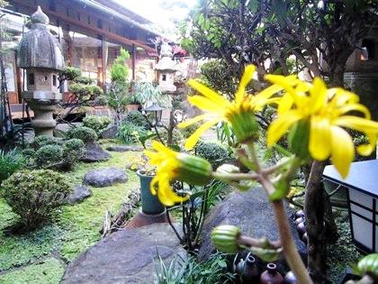 ツワブキの花 大正楼中庭