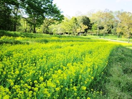 甘樫丘の菜の花