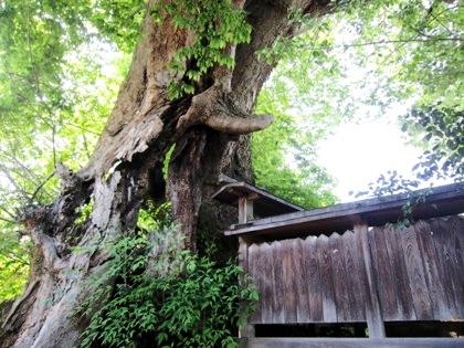 弁天社古墳に絡み付く大木