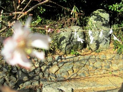 飛鳥坐神社の寒桜