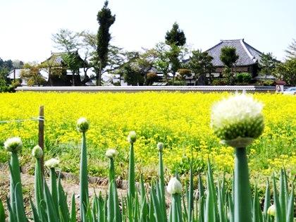 ねぎ坊主と菜の花 飛鳥寺