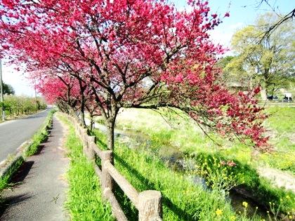 飛鳥川沿いに咲く花