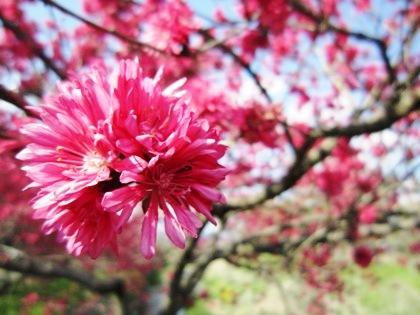 飛鳥川沿いに開花する花