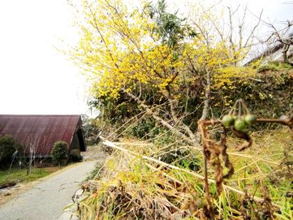 冬の山の辺の道 蝋梅