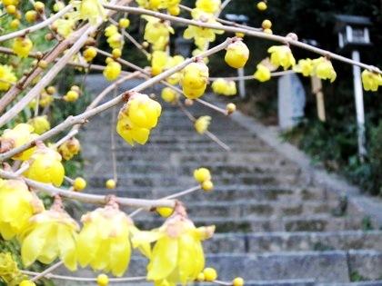 飛鳥坐神社の蝋梅
