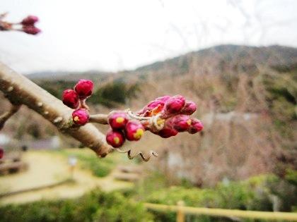 三輪山と桜の蕾