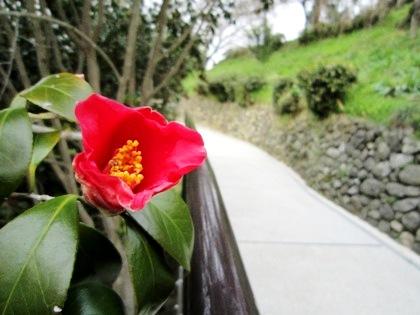 大美和の杜展望台に咲く椿