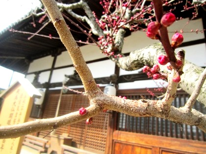飛鳥寺本堂前の紅梅