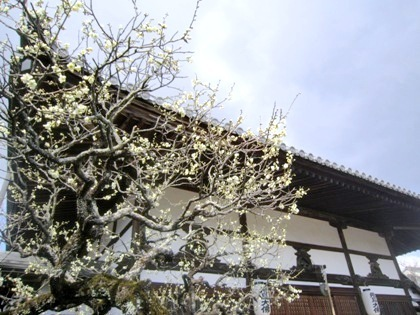 飛鳥寺本堂前の梅の花
