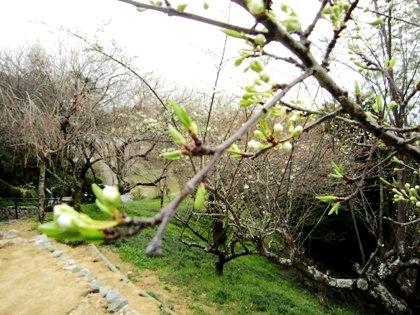 大美和の杜展望台の桜の蕾