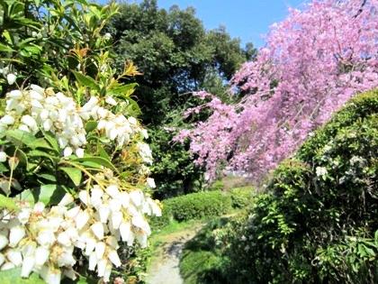 馬酔木と桜