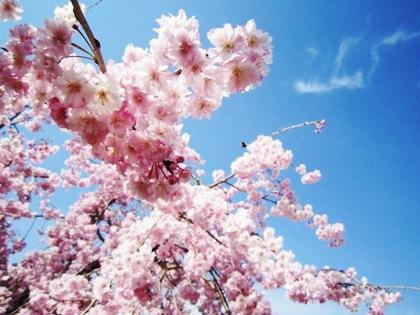青空と大神神社の桜
