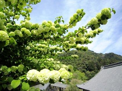 長谷寺の大手鞠(おおでまり)