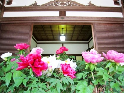 長谷寺本坊の牡丹