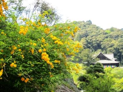長谷寺本堂とヤマブキ
