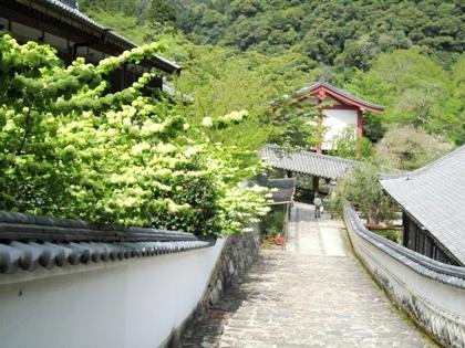長谷寺のオオデマリ