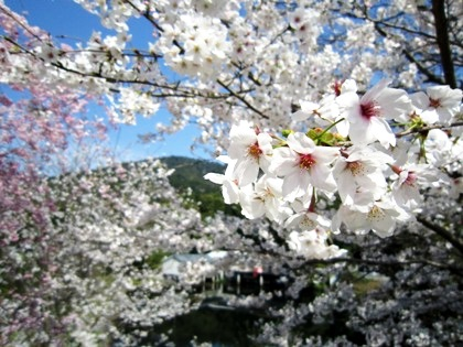 大神神社の桜