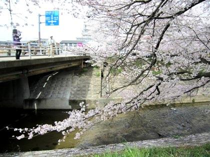 国道169号線と粟原川の桜