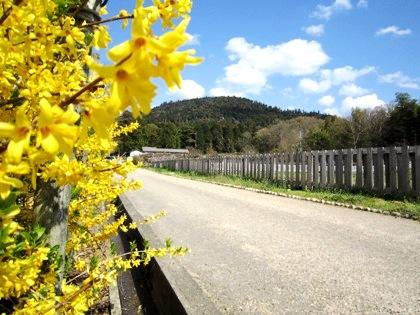 れんぎょうの花 山の辺の道の春