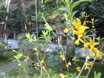 狭井神社のレンギョウ