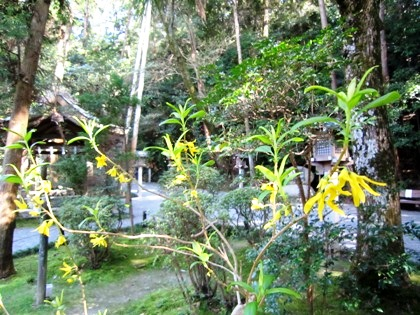 狭井神社のれんぎょう