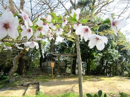 日向神社の桜
