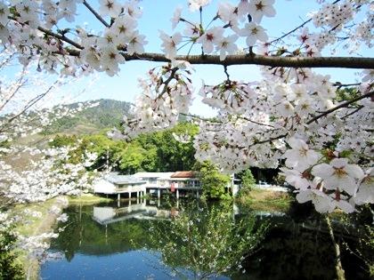 三輪山と桜の風景