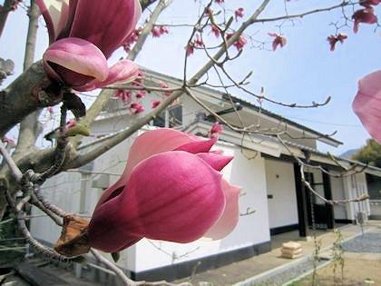 紫木蓮と明日香民俗資料館