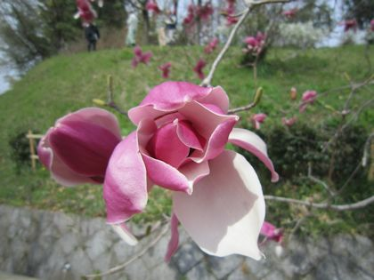 明日香民俗資料館の紫木蓮