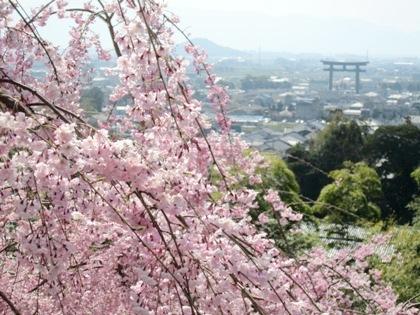 大神神社の桜 大美和の杜展望台の桜
