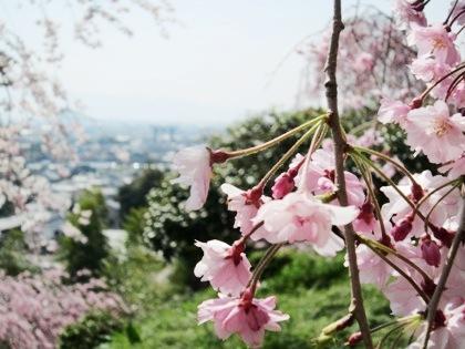 枝垂れ桜の蕾