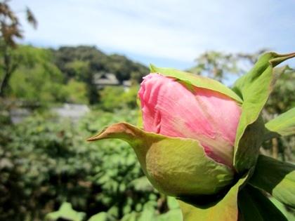 長谷寺のぼたんの蕾