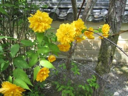長谷寺の山吹