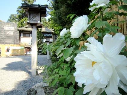 大神神社の牡丹