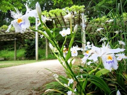 シャガの花 5月の甘樫丘