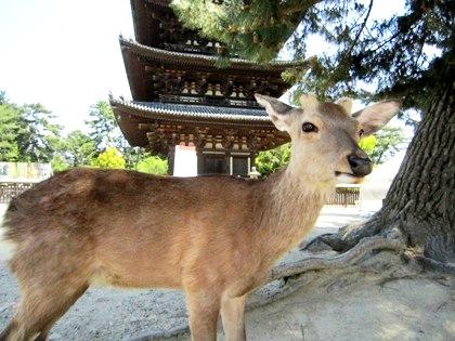 興福寺五重塔と奈良の鹿