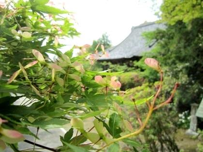 楓の種と長岳寺本堂