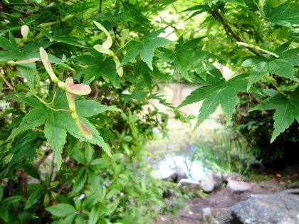 楓の種と放生池