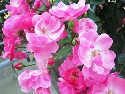 おふさ観音の薔薇 バラまつり