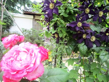 おふさ観音の薔薇