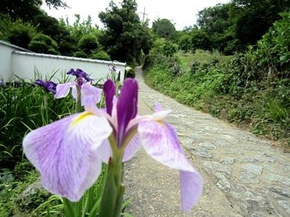 山の辺の道の花菖蒲
