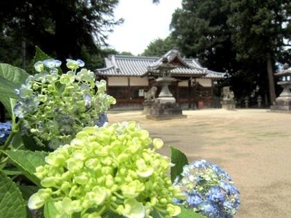 糸井神社のウズアジサイ